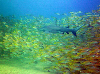Diving at Cabo Pulmo with Bull Sharks